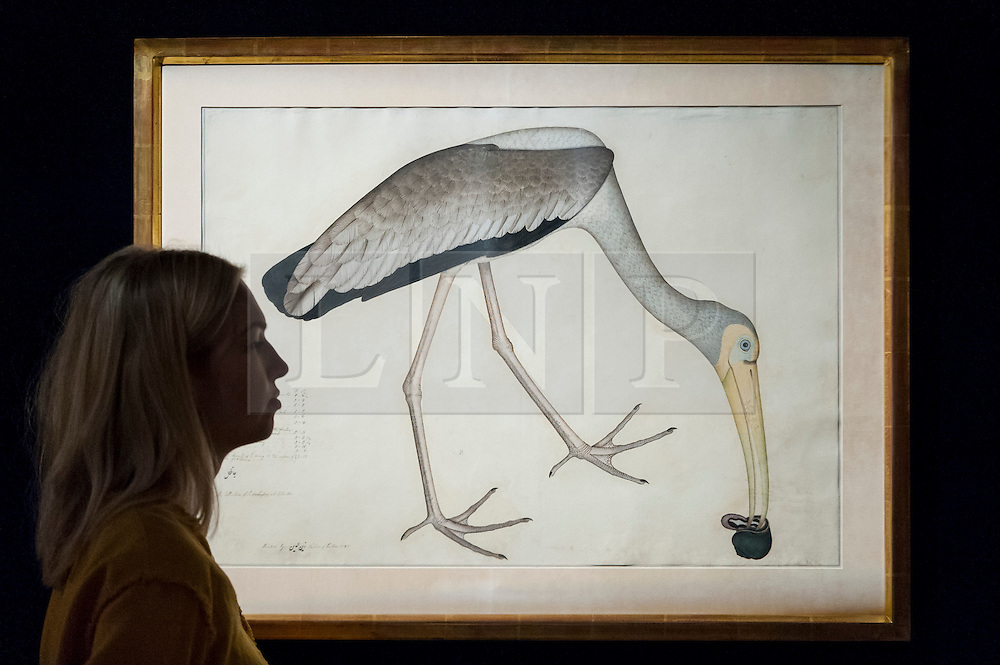 """© Licensed to London News Pictures. 13/10/2016. London, UK. A Sotheby's staff member views """"A study of a Stork"""", from the Lady Impey Series, signed by Shaykh Zayn al-Din, Company School, Calcutta, dated 1781"""" (est. GBP 60-80k), once part of the estate of Jacqueline Kennedy, at the preview of Sotheby's Art of the Middle East and India exhibition, which presents artworks to be sold in New Bond Street in four sales in October. Photo credit : Stephen Chung/LNP"""