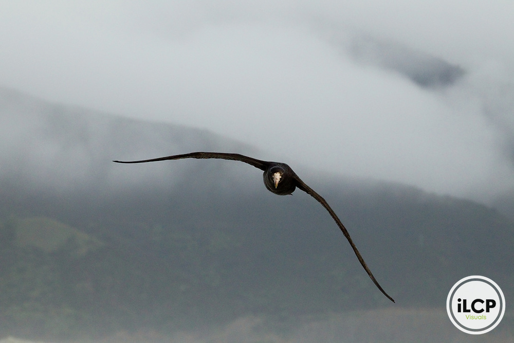 Northern Giant Petrel (Macronectes halli) flying near coast, Kaikoura, South Island, New Zealand