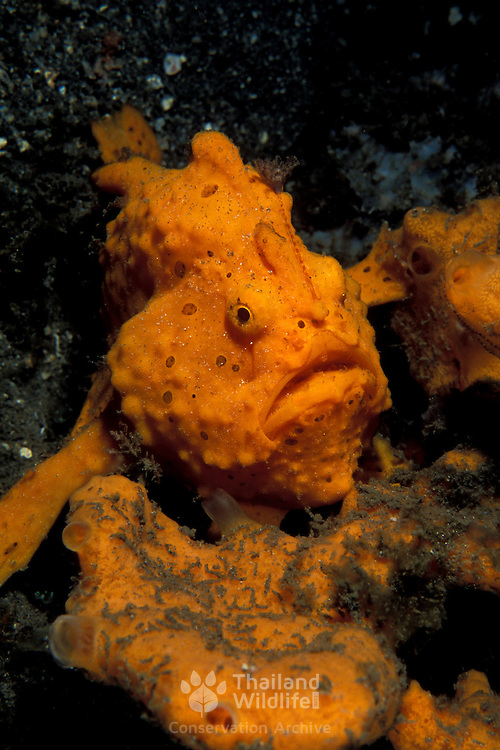 Painted Frogfish, Antennarius Pictus, Lembeh Straits, Indonesia.