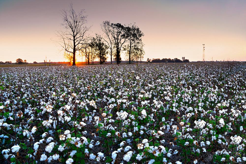 Clarksdale, Mississippi, Cotton Field, Delta, Sunrise