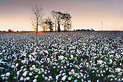 Clarksdale, Mississippi, Cotton Field, Delta, Sunrise