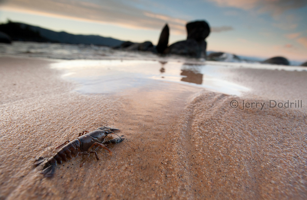 A Crawdad hunting for food on a sandy beach along the north shore of Lake Tahoe, California. Lake Tahoe is a large freshwater lake in the Sierra Nevada mountain range on the California/Nevada Border. At a surface elevation of 6,225 ft Lake Tahoe is the largest alpine lake in North America with a depth of 1,645 ft.