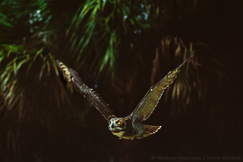 Great Horned Owl [Bubo virginianus] in flight; Miami Zoo, Florida