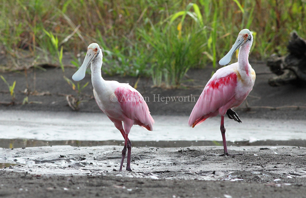 Roseate Spoonbills (Platalea ajaja), Tortuguero National Park, Costa Rica. <br />