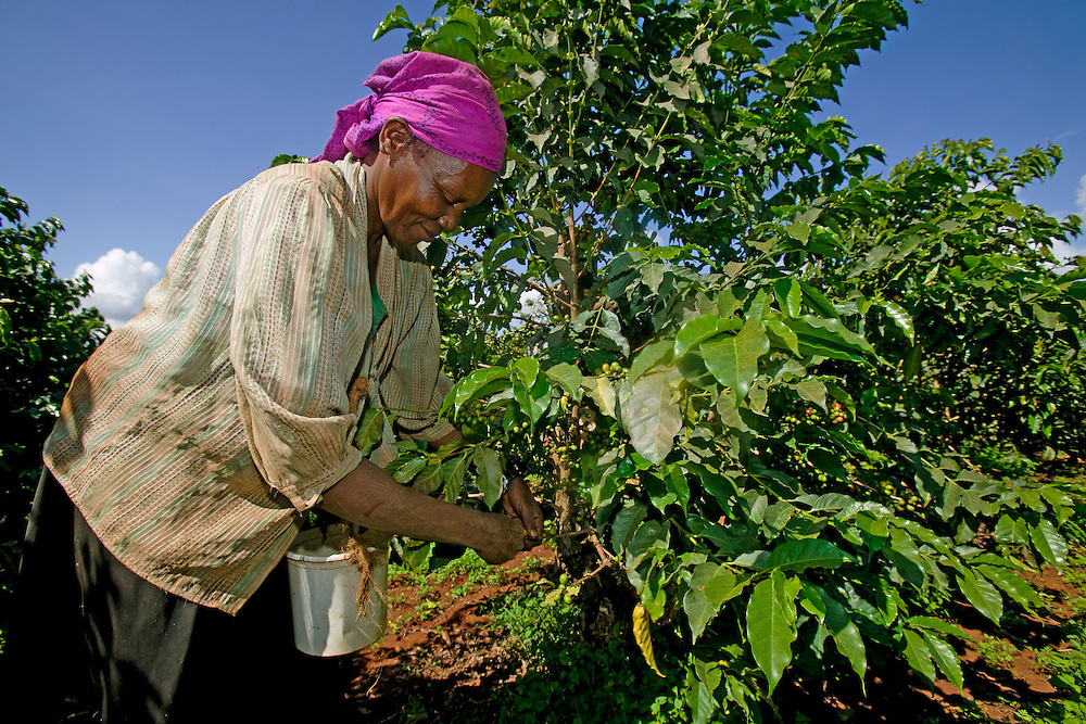 Africa, Kenya, Ruira, (MR) Woman picking Arabica coffee beans during harvest at Socfinaf's Oakland Estates plantation