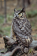Great-horned owl perched on old burned ponderosa pine log, alert as light diminishes in the evening. The detailed feather markings on its back and wing feathers show an evident camoflage effect. © 1983 David A. Ponton