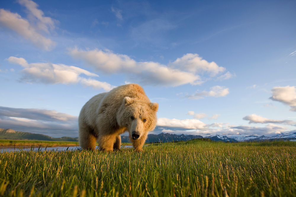 USA, Alaska, Katmai National Park, Brown Bear (Ursus arctos) feeding on sedge grass in meadow along Hallo Bay at sunset on summer evening