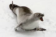 Crabeater Seal, seen from the Greenpeace ship Esperanza, during expedition to find Japanese whaling fleet, 23rd February 2007. As the ship passed through the icepack on an still Saturday morning, the seal woke up from its lie-in, snorted, roared, and started digging its head into the ice, sending bits flying everwhere. I think it was unhappy about not being able to sleep off its hangover!.