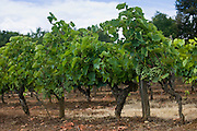 Bunches of grapes on vine of Ferme de Charnaillas in the Dordogne France