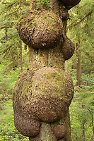 Sitka Spruce Burls, Olympic National Park