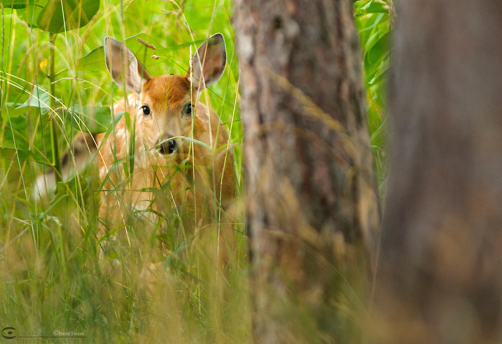 White tailed deer odocoileus virginianus, fawn, Canaan Valley National Wildlife Refuge, Canaan Valley, West Virginia USA.