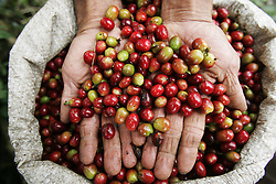 The fruit of the coffee plant ranges in color from green to red.  Once the small fruit is picked the skin is taken off and the seed, or bean, inside is dried and roasted. The tourism industry is slowly emerging in Quindio, the Colombian coffee country.  Old coffee haciendas have been turned into new hotels catering to tourists.  The countryside, some of the most beautiful in the country, is a popular weekend getaway spot where visitors can participate in a variety of outdoor activities as well as learn about coffee production.