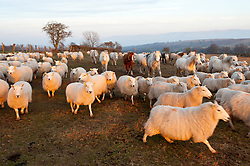 © Licensed to London News Pictures. 24/02/2019. Brecon, Powys, Wales, UK. Sheep and ponies follow a farmer on a quad with feed in the evening after a beautiful spring-like day as the sun sets over moorland near Brecon in Powys, Wales, UK. Photo credit: Graham M. Lawrence/LNP