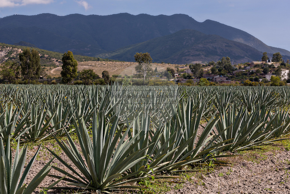 Rows of blue agave plants growing in a field November 5, 2014 in Matatlan, Mexico. The plants which take up to 12-years to grow are used in making Mezcal.