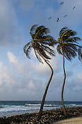 Coconut Palm (Cocos nucifera) &amp; Magnificent Frigatebird (Fregata magnificens)<br /> Halfmoon Caye<br /> Lighthouse Reef Atoll<br /> BELIZE, Central America