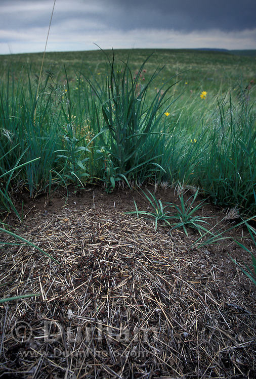 A mound ant colony (Formica spp.) in the middle of a bunchgrass prairie in Notheast Oregon. May 2001. This is part of The Nature Conservancy's Zumwalt Prairie Preserve. This area contains some of the largest remaining intact bunchgrass prairies left in North America