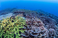 Acropora coral meadow at Raja Ampat, Indonesia