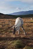 Photographs of the Cairngorm Reindeer Herd