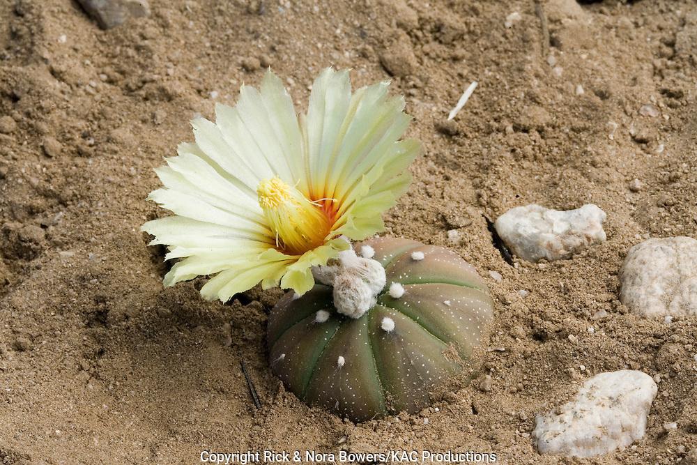 Star Cactus.Astrophytum asterias .Tucson, Arizona, United States.26 April      Plant in cultivation.        Cactaceae