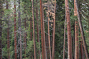 Forest in Yosemite National Park, California.