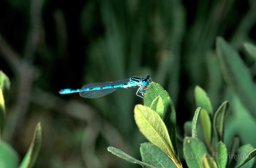 Southern damselfly Coenagrion mercuriale uk
