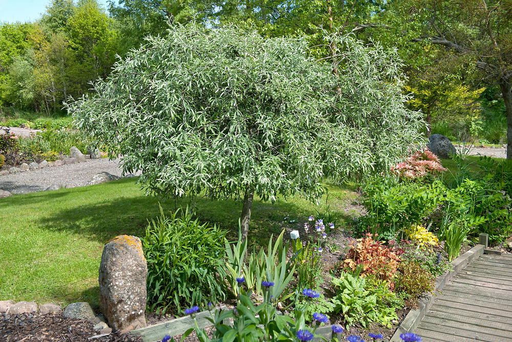Silver pear tree and herbaceous border by the pond deck in the front garden at Cuddy's Well, Inverness-shire