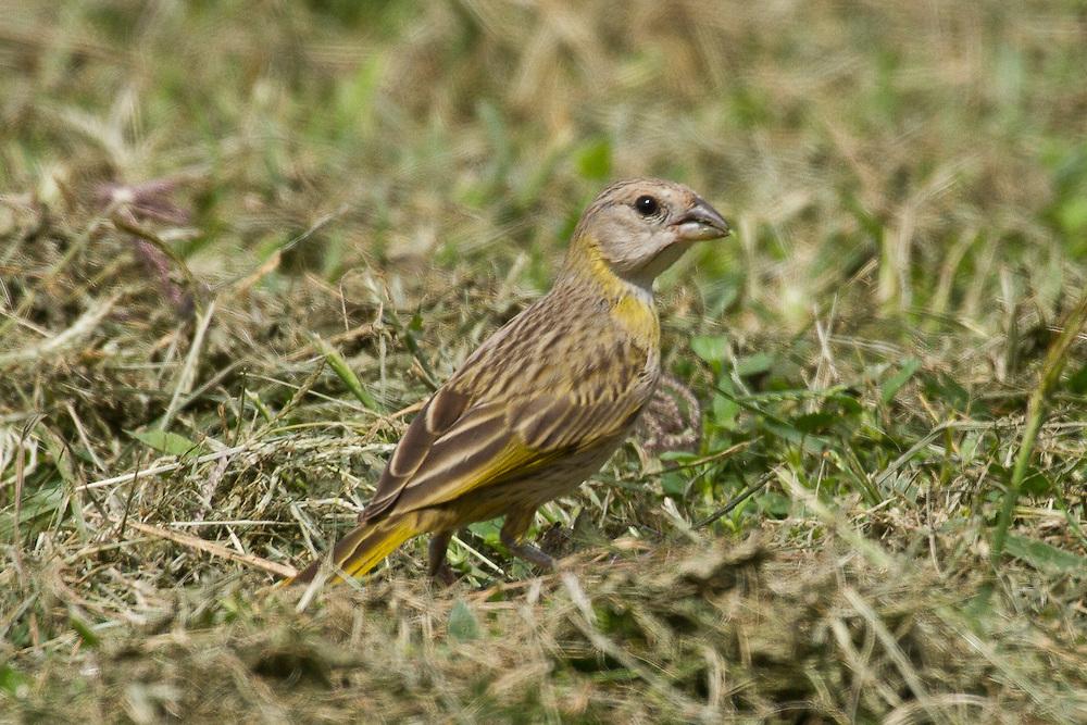 Saffron Finch photo Hawaii