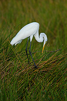Great Egret (Ardea alba) with nesting stick, Green Cay Nature Centre, Delray Beach, Florida, USA   Photo: Peter Llewellyn