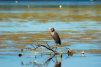 The rare reddish egret standing on a branch in a backwater estuary on Sanibel Island.