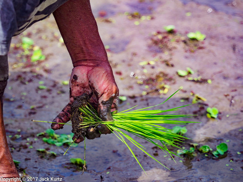 10 AUGUST 2017 - UBUD, BALI, INDONESIA: A man transplants young rice plants in a rice field about 1.5 kilometers from downtown Ubud. Rice is the most important crop grown on Bali and is important as a food source and a symbol of Balinese culture. In accordance with Balinese tradition, men transplant the young rice plants from nurseries to the fields and women harvest the rice when it matures.     PHOTO BY JACK KURTZ