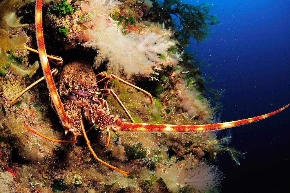Common Spiny Lobster (Palinurus elephas) | Languste, Gozo, Maltese Islands