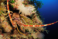 Common Spiny Lobster (Palinurus elephas) | Languste, Gozo, Maltese Islands