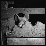 Tiergerechte Schweinehaltung in der Berglandwirtschaft, mit oder ohne Auslauf? Schweinemast ist eine einfache Art der Verwertung von Nebenprodukten der Milchwirtschaft. Viele Bergbauern mästen auch ein paar Schweine. © Romano P. Riedo