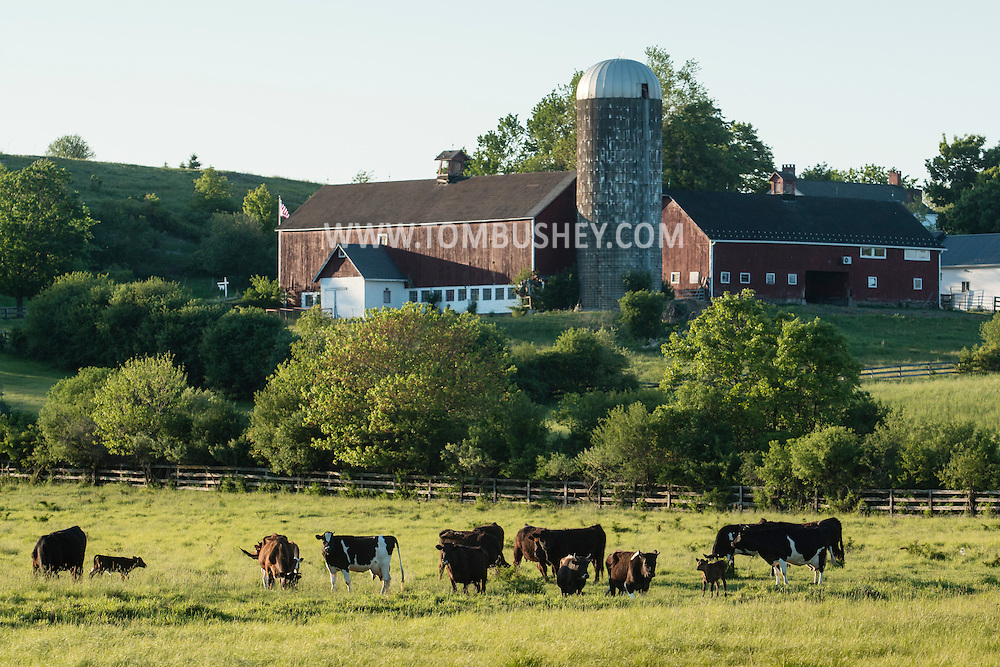 Hamptonburgh, New York - Cows graze in a farm field on  May 22, 2015.