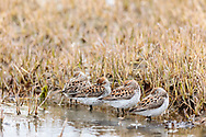 Western Sandpipers (Caldris mauri) resting at Hartney Bay in Cordova in Southcentral Alaska. Spring. Afternoon.