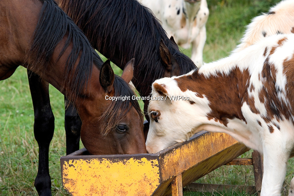 NORMANDY CATTLE WITH FRENCH TROTTER HORSES, HERD EATING, NORMANDY