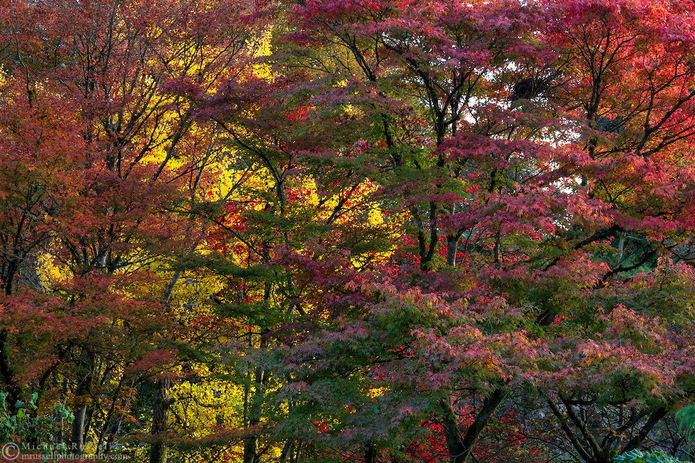 Various Japanese Maple (Acer japonica) trees with fall leaf foliage colors.  Photographed from one of the many paths in the Quarry Gardens at QE Park in Vancouver, British Columbia, Canada.