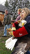 "A bold Eagle was rescued after being seen in distress by a little boy who saw the bird in trees near his home, they alerted the The Friends of Feathered and Fury Wildlife Centre, and The blind and injured eagle was brought to the centre for treatment <br /> <br /> The eagle had lacerations to it's face and eyelid. ""This is why it was not hooded, as is the usual practice, when it was captured"" said vets at the centre , <br /> <br /> The Eagle was put on the exam table at Friends of the Feathered and Furry Wildlife Center in preparation for blood being drawn, volunteers gently straightened the eagle's bent feathers with light steam.<br /> <br /> The eagle spends two weeks at The Friends of Feathered and Fury Wildlife Center where it receives treatment -- regains its sight and is housed in a special eagle enclosure to keep her stress levels down.<br /> <br /> after rehab the eagle was then taken back to the area it was found and released back in to the wild<br /> ©Exclusivepix Media"