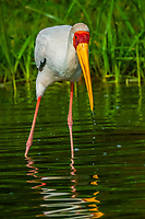 Yellow-billed stork, Kazinga Channel, Queen Elizabeth National Park, Uganda.