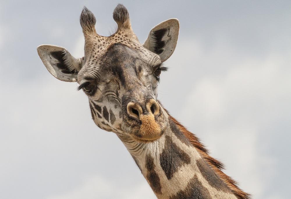 Giraffa tippelskirchi, Tanzania