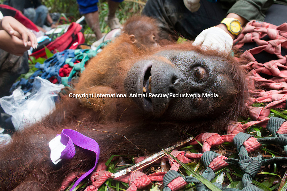 Baby And Mum Orangutan Cling To Each Other Until Help Arrives<br /> <br /> This baby and mum orangutan lost their forest home &mdash; but now they're finally safe<br /> <br /> A mother and baby orangutan in Borneo have a bright future ahead of them after rescuers saved them from a life-threatening situation and moved them to a safe new home in the rainforest.<br /> <br /> A team from International Animal Rescue (IAR) based in Ketapang, West Borneo was alerted by locals in the nearby village of Sandai that a mother and baby orangutan had been spotted in a rubber tree plantation. IAR&rsquo;s Human Orangutan Conflict (HOC) team set off immediately to verify the report. Orangutans that enter villages in search of food are in serious danger of being treated as pests and attacked, even killed by farmers or plantation workers. <br /> <br /> Once they had located them, the HOC team set up camp for the night near the orangutans&rsquo; nest and waited for the full rescue team to arrive.<br /> <br /> The following morning, in spite of driving rain, IAR&rsquo;s marksman Argitoe succeeded in hitting the mother with the first shot of his dart gun and mother and baby landed safely in the net stretched out below them by the rescue team. They named the orangutans Mama Rindi and Baby Rindi. Vet Ayu and Spanish volunteer vet Javier carried out a thorough medical check which confirmed that mother and baby were in good health and the mother was producing milk for her baby. <br /> <br /> IAR CEO Alan Knight said: &ldquo;This mother and baby are safe now but their story could have ended in tragedy had it not been for the actions of our team. Although some people know to contact us if they spot an orangutan near their village, others still react aggressively to the apes&rsquo; presence. By searching for food in the rubber tree plantation, the mother ran a serious risk of being attacked and killed, leaving her tiny baby to be taken and sold as a pet. It&rsquo;s a great relief to know they are safe.&rdquo; <br /> <br /> He continued: &ldquo;While the situation for orangutans is a bleak one, we wouldn&rsquo;t be w