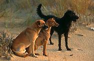 PRT, Portugal: Streunender Hund, Haushund (Canis lupus familiaris), eine kleines Rudel von drei Hunden am Strand, das Paar (Männchen links, Weibchen rechts) sitzt, ihr Freund, der sie immer verbindet steht neben ihnen. Alle drei blicken konzentriert in die gleiche Richtung, Monte Gordo, Algarve | PRT, Portugal: Stray dog, domestic dog (Canis lupus familiaris), a small pack of three dogs on the beach, the couple (male left, female right) is sitting, their friend ,who is always joining them is standing beside. All three concentrated looking in the same direction, Monte Gordo, Algarve |