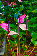 Anthurium, Hawaii Tropical Botanical Garden, Hilo, Hamakua Coast, Big Island of Hawaii