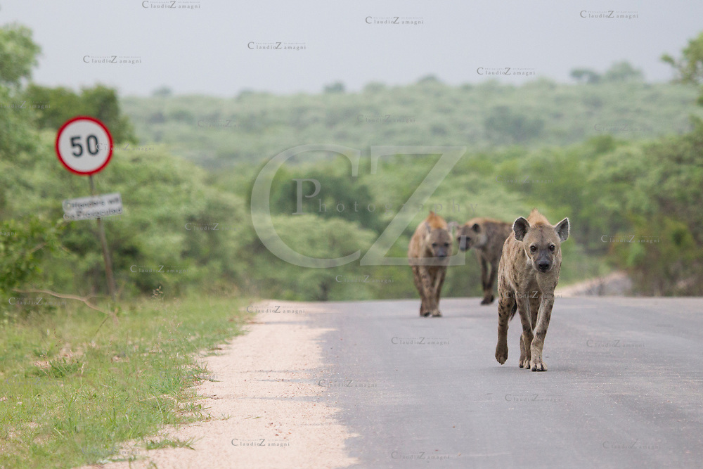 Hyena on the road, Kruger National park south africa <br />