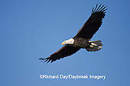 00807-035.13 Bald Eagle (Haliaeetus leucocephalus) in flight over Mississippi River, Alton, IL