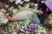 Leopard or short bodied Blenny (Exallias brevis) on tropical coral reef - Agincourt reef, Great Barrier Reef, Queensland, Australia.