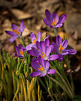 Early Purple Crocus flowers. A sign that spring is approaching. Image taken with a Leica TL2 camera and 55-135 mm telephoto zoom lens (ISO 100, 135 mm, f/4.5, 1/320 sec)