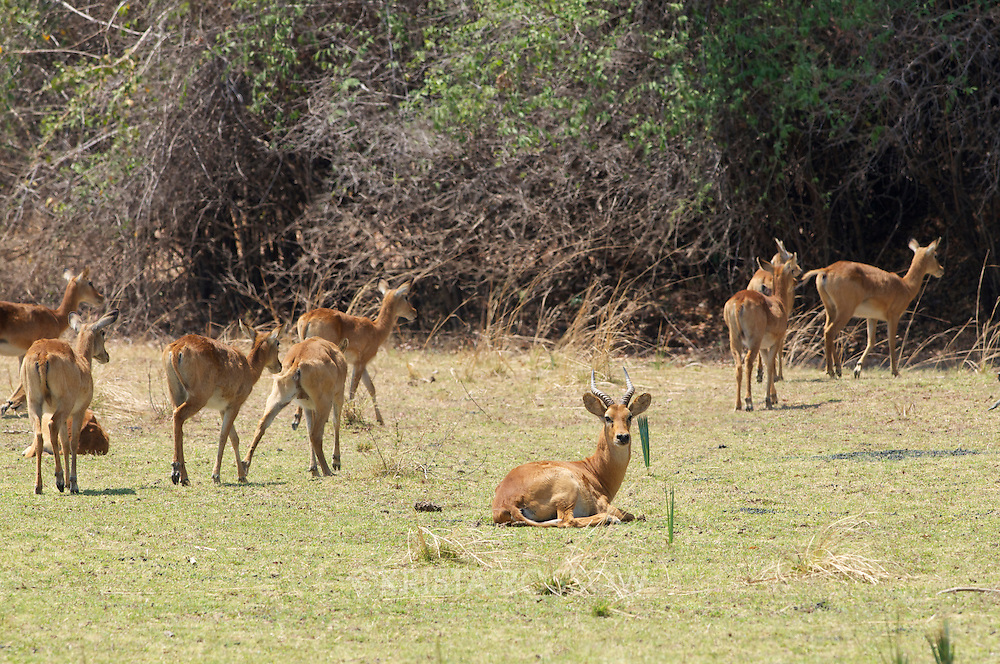 A herd of female puku with one male.