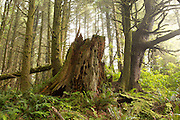 An old tree trunk in a Sitka spruce forest on the edge of the Oregon Coast.