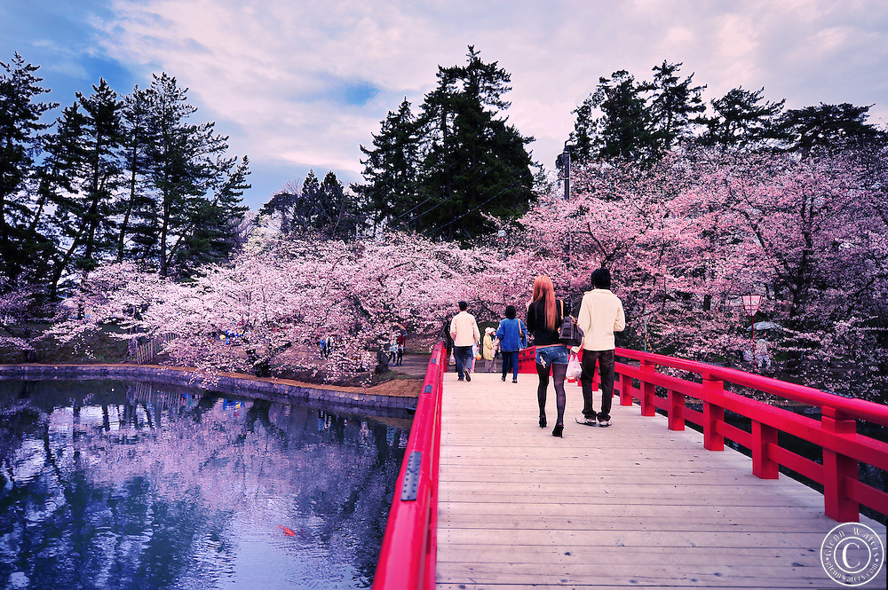 Hirosaki castle park in northern Japan in spring time. Beautiful cherry blossoms,pine trees and koi carp.<br />